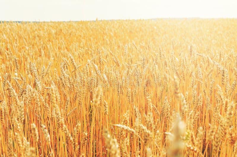 Weizenähren an einem sonnigen Sommertag auf einem großen Feld Weinlesekonzepthintergrund lizenzfreie stockbilder