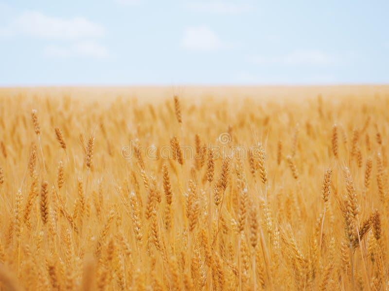 Weizenähren am gelben Weizenfeld unter dem blauen Himmel stockfoto