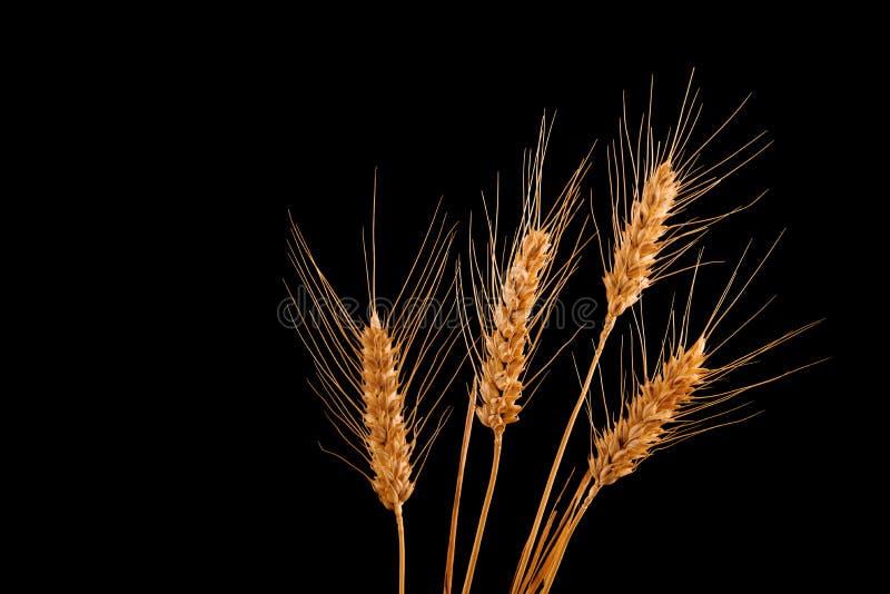 Weizenähren lokalisiert auf schwarzem Hintergrund stockbild