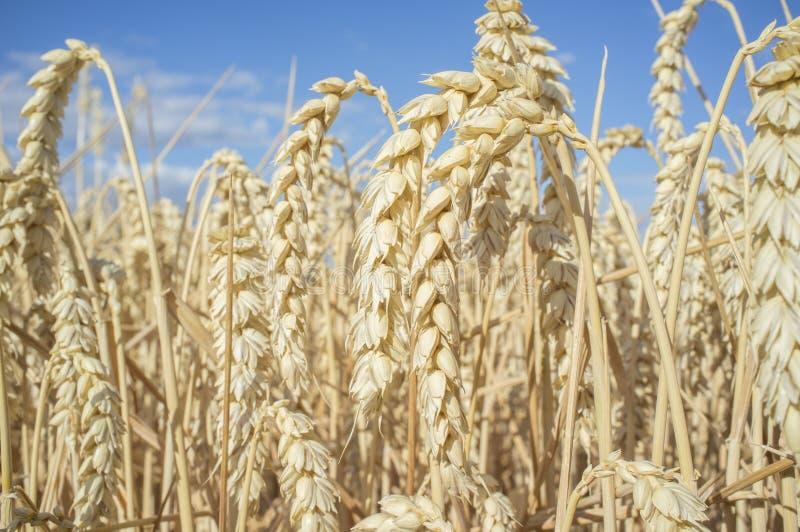 Weizenähren voll von Körnern am Getreidefeld über blauem Himmel lizenzfreie stockfotos