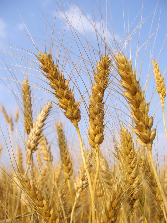 Weizen lizenzfreie stockbilder