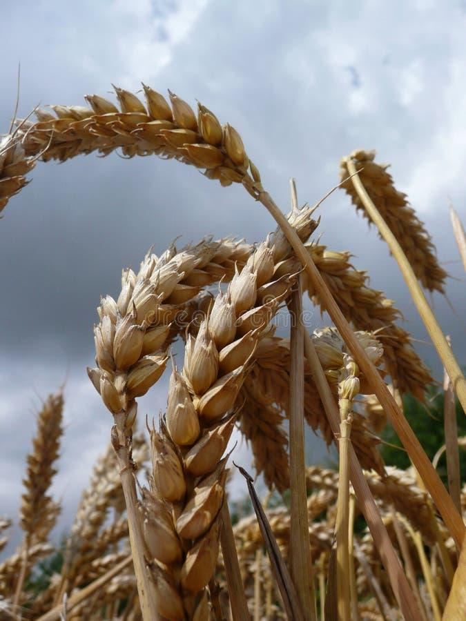 Weizen lizenzfreies stockfoto