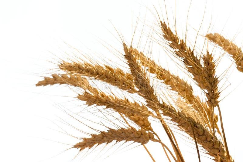 Weizen stockfotografie