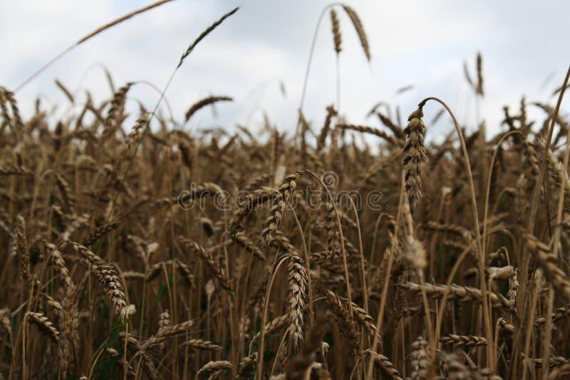 Weizen auf dem Gebiet lizenzfreie stockfotos