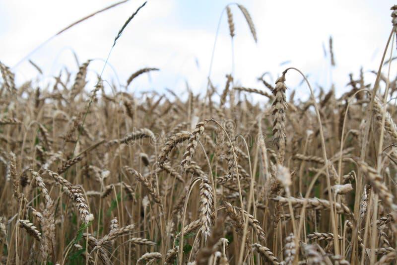 Weizen auf dem Gebiet stockbilder