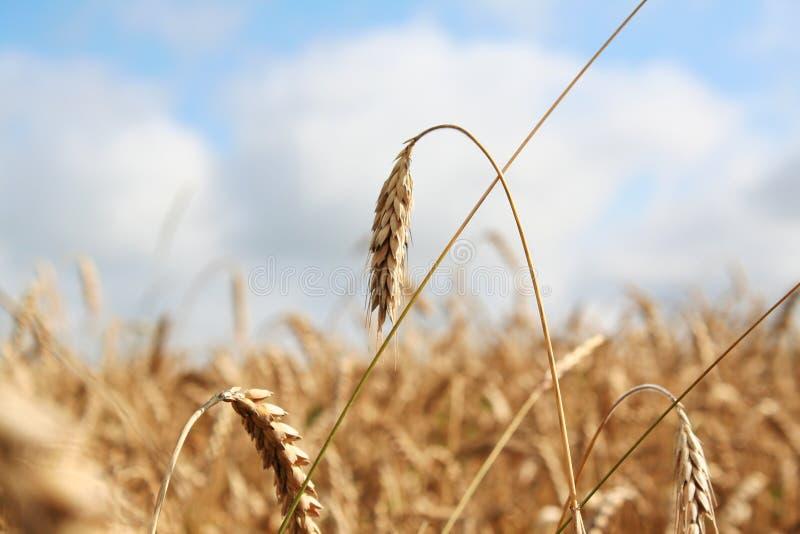 Weizen auf dem Gebiet lizenzfreies stockfoto