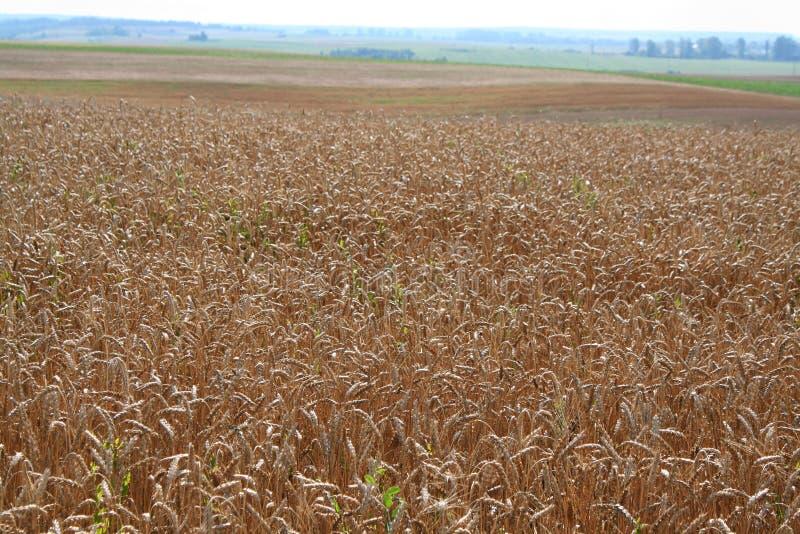 Weizen auf dem Gebiet lizenzfreie stockfotografie
