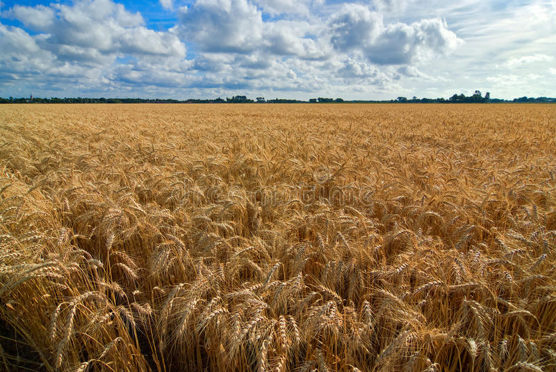 Weizen auf einem Gebiet lizenzfreies stockfoto