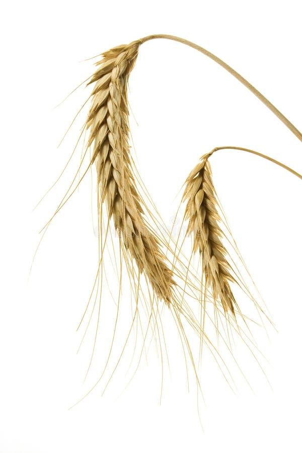 Weizen auf Weiß lizenzfreies stockbild