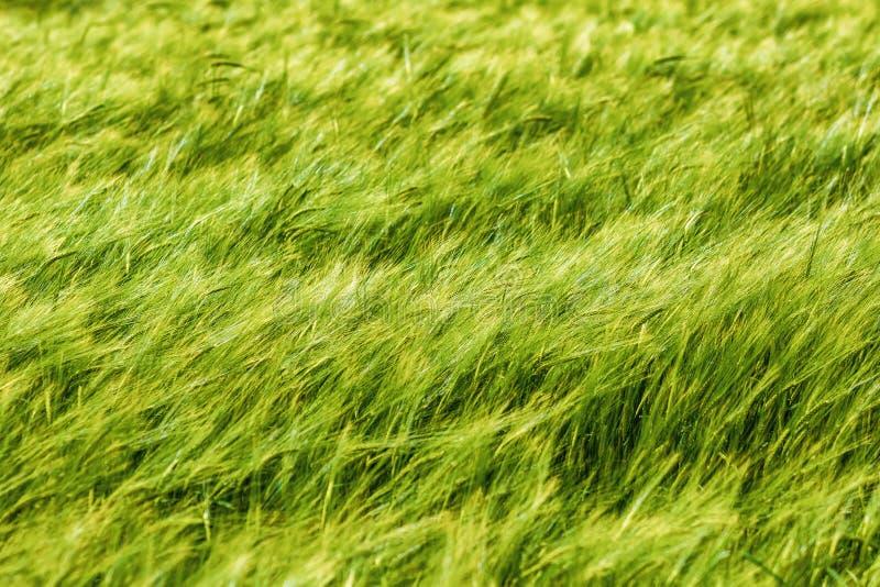 Weizen, der auf einem Gebiet durchbrennt lizenzfreies stockfoto
