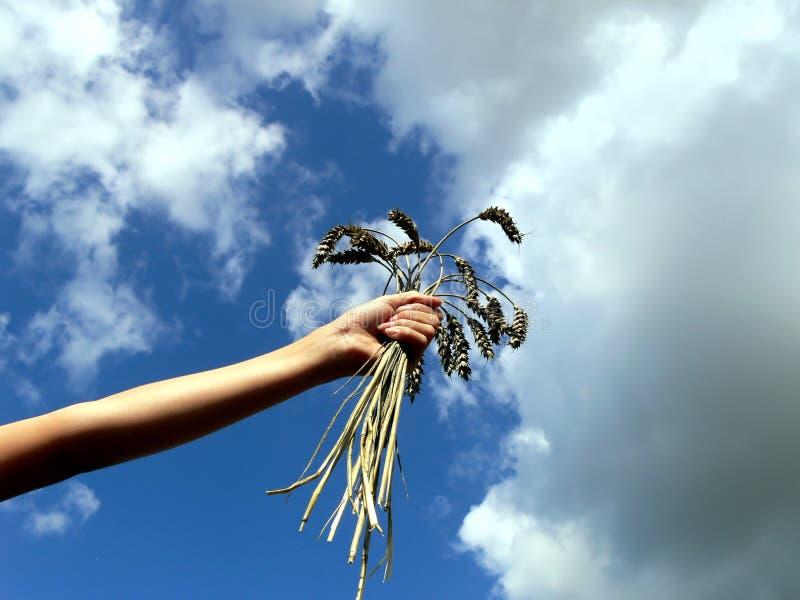 Weizen in der Hand stockbild