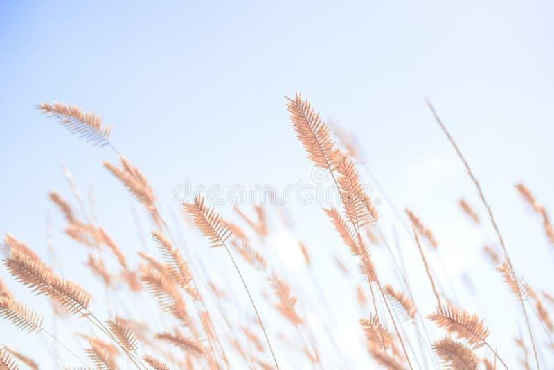 Weizen, der im Wind durchbrennt lizenzfreie stockfotografie