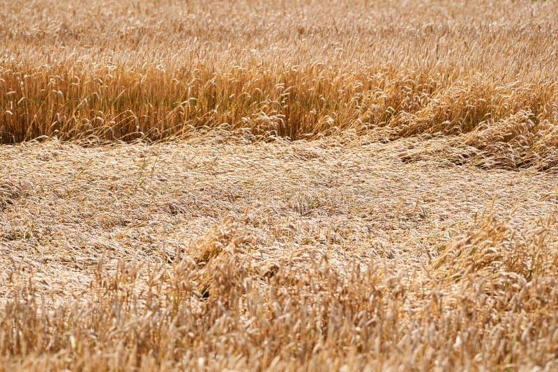 Weizen, der teils sich auf dem Gebiet nach starkem Regen hinlegt stockfotografie