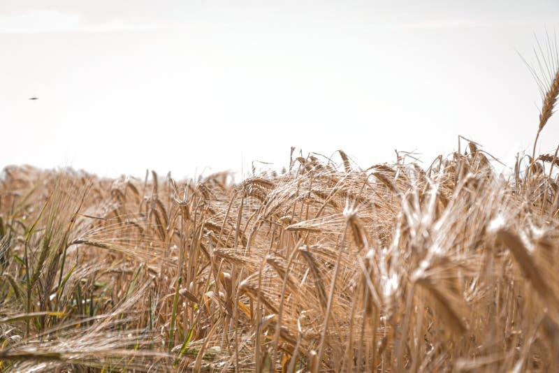 Weizen-Ernte-Feld Ohren des goldenen Weizenabschlusses oben Reifende Ohren des Weizenfeldhintergrundes Reiches Ernte Konzept stockbild
