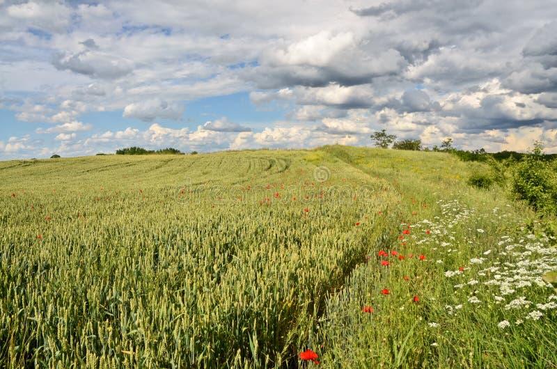 Weizen-Feld lizenzfreie stockfotos