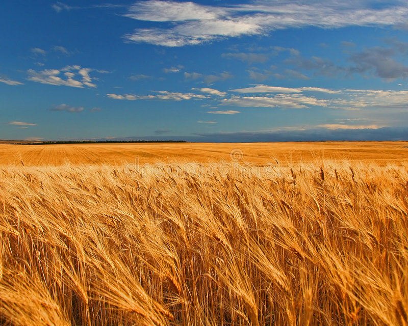 Weizen-Feld lizenzfreie stockbilder