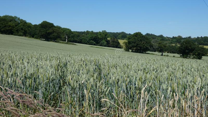 Weizen-Feld in England für die Sommer-Sonnenwende 2019 12 lizenzfreie stockfotografie