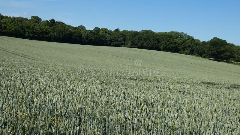 Weizen-Feld in England für die Sommer-Sonnenwende 2019 3 lizenzfreie stockfotografie