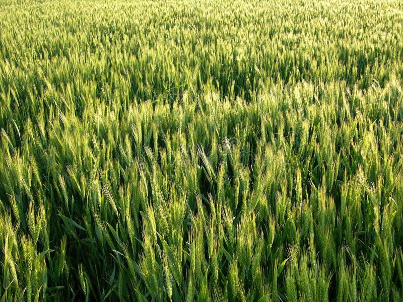 Weizen-Feld-Hintergrund lizenzfreie stockfotografie