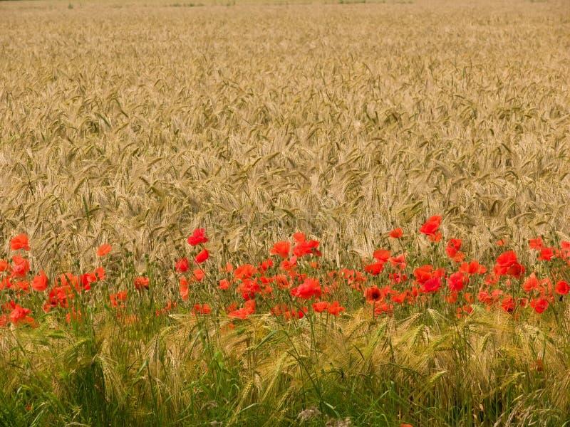 Weizen-Feld mit Mohnblumen 2 lizenzfreies stockbild