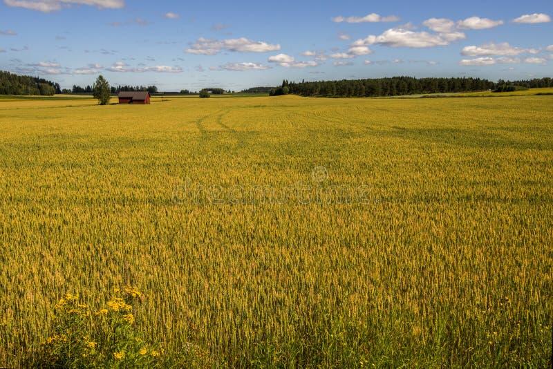 Weizen-Feld und Bauernhof stockbilder