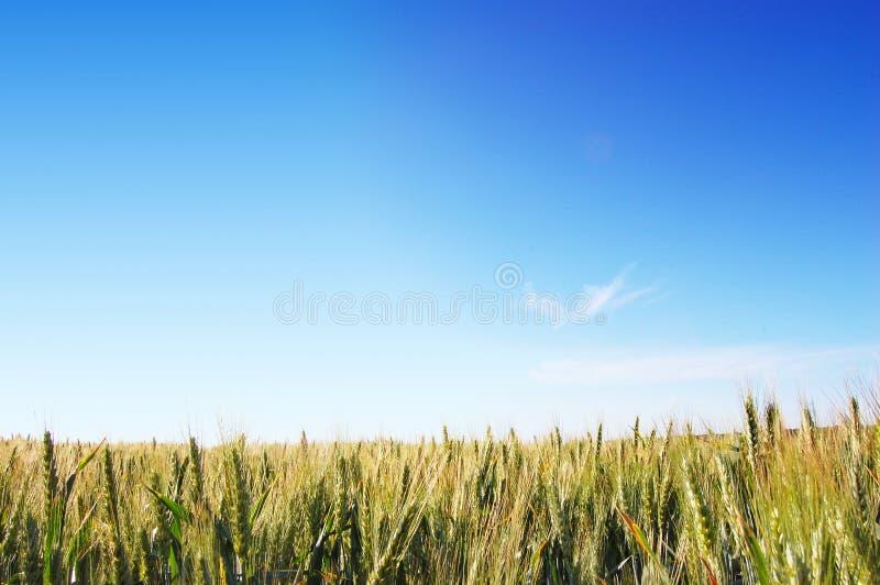 Weizen-Felder stockbilder