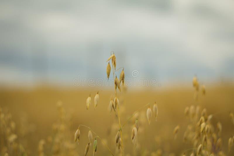 Weizen gegen den Himmel stockbild
