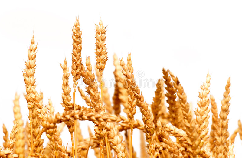 Weizen getrennt lizenzfreies stockfoto