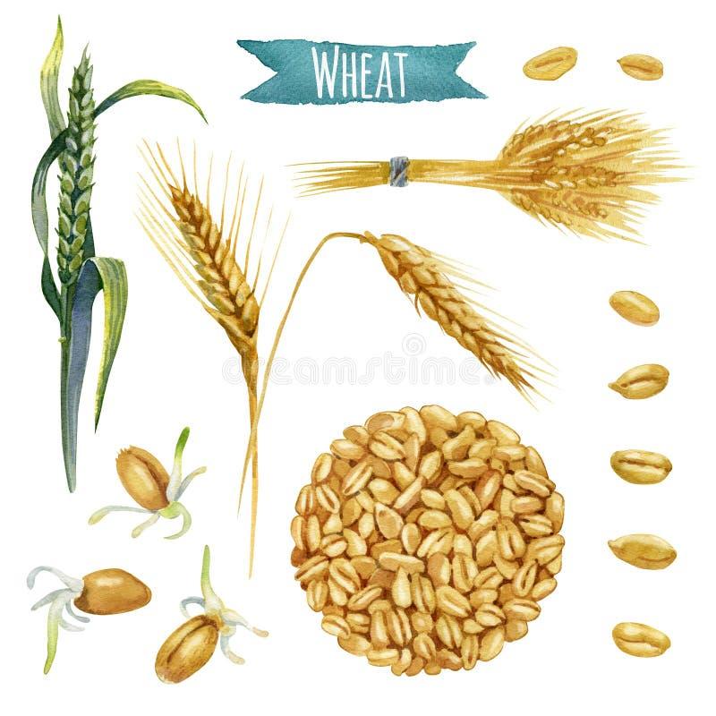 Weizen, handgemalter Aquarellsatz vektor abbildung