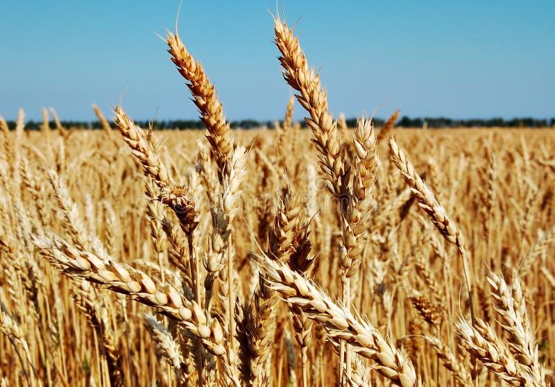 Weizen ist Brot, Brot ist Leben stockfoto