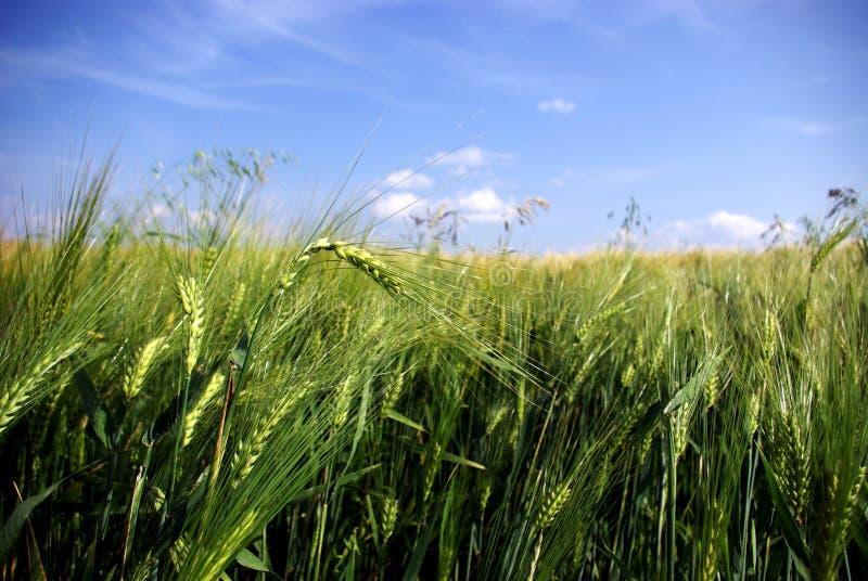 Weizen-Nahaufnahme lizenzfreie stockfotos