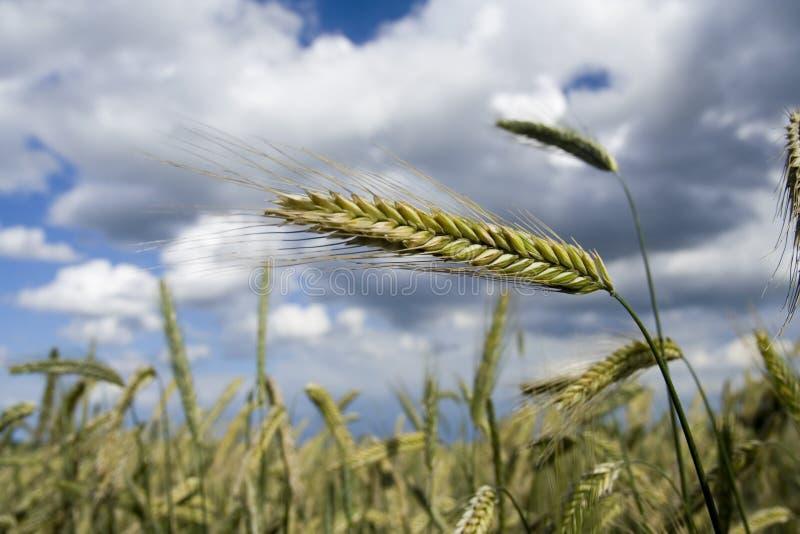 Weizen-Ohr stockfotografie
