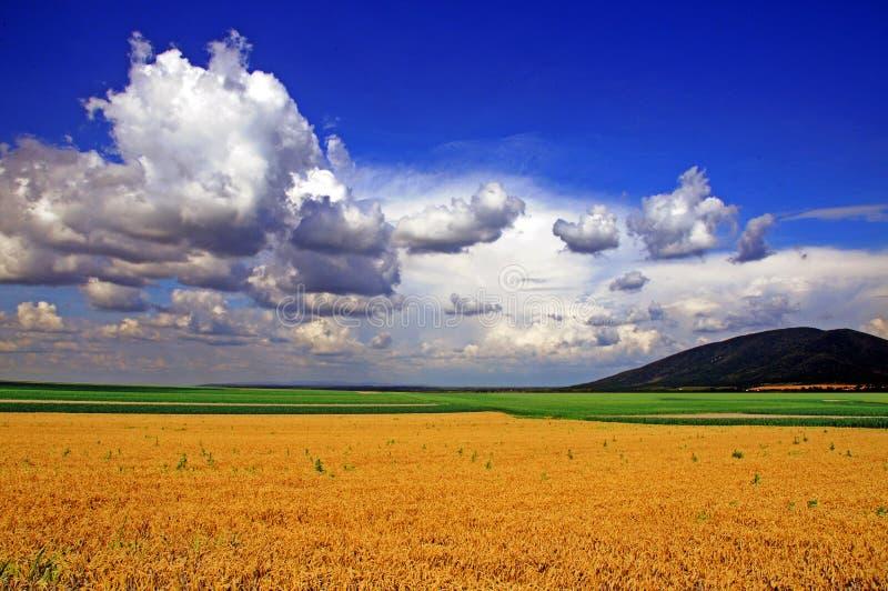 Weizen-Sommer-Feld stockbild