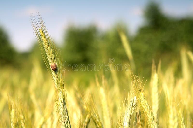 Weizen und blauer Himmel hinten. stockfotos
