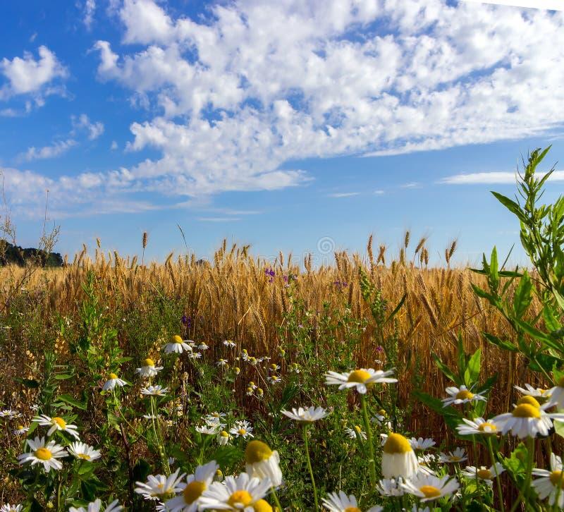 Weizen und Feld von camomiles stockbild
