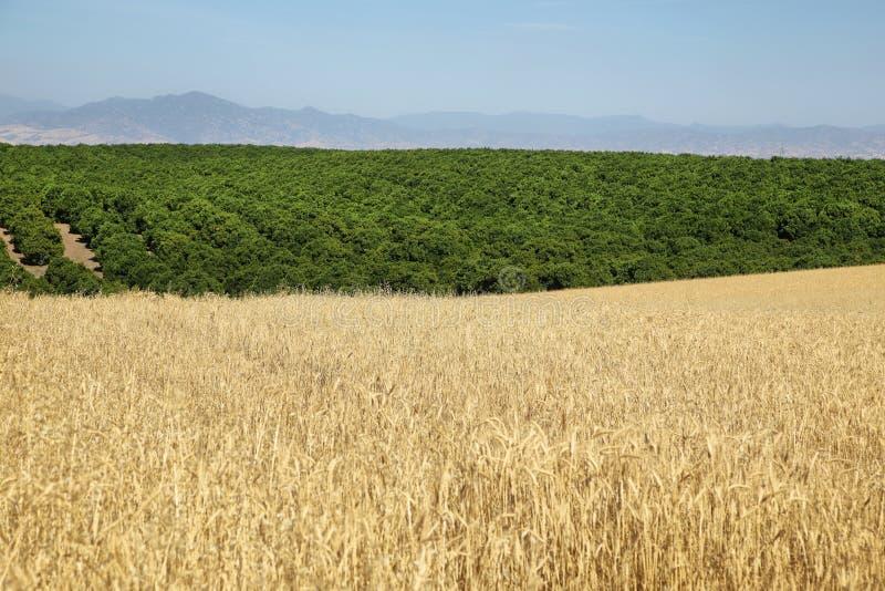 Weizen- und Fruchtfelder in Kalifornien stockfoto