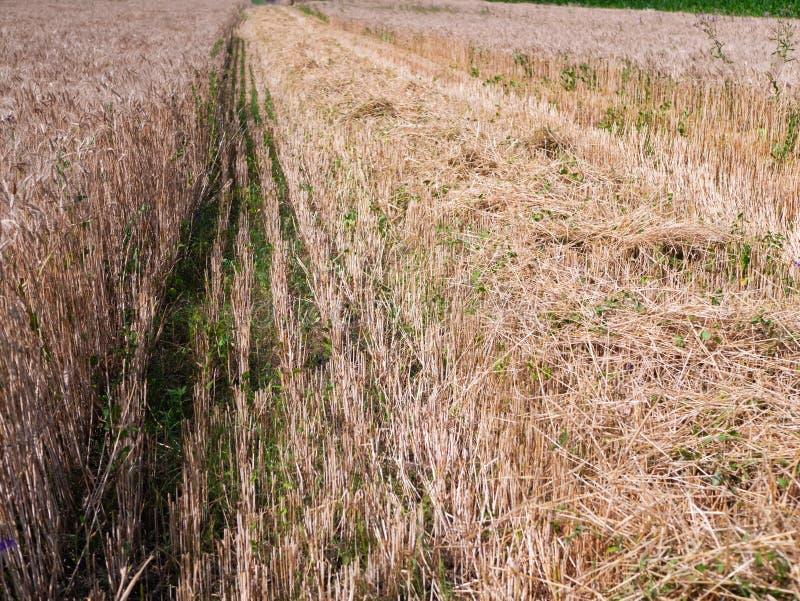 Weizenernte im Sommer Nach der Ernteoperation geschlagener Weizen Goldenes Ohr für reifen Weizen auf dem Feld lizenzfreie stockfotos