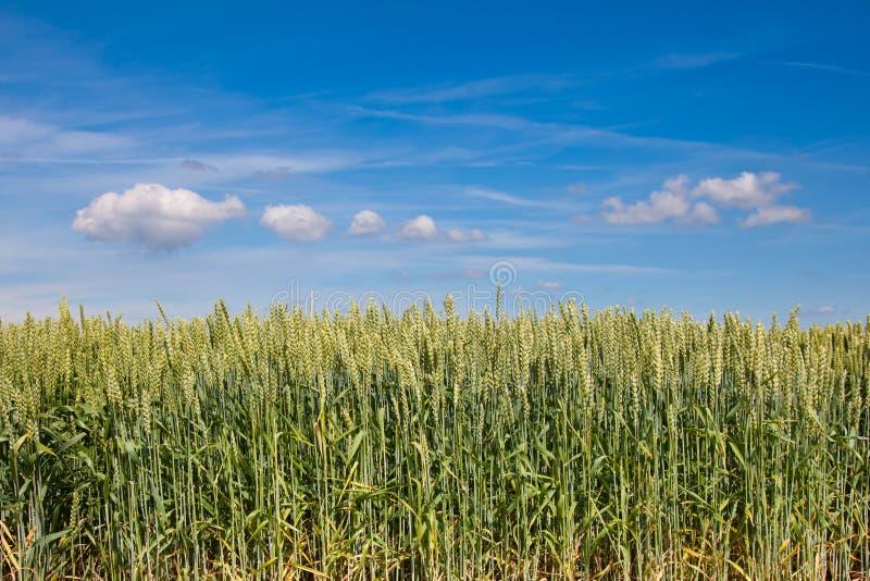 Weizenfeld lizenzfreies stockbild