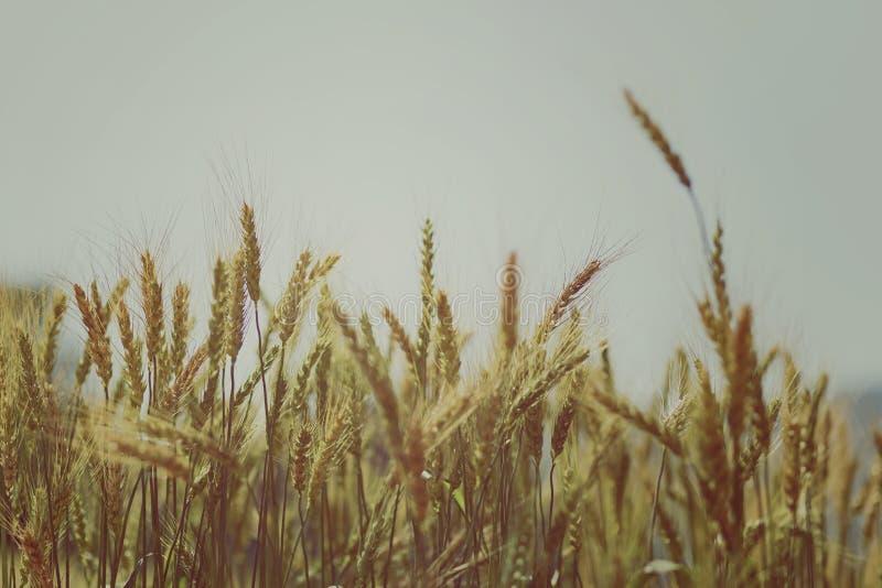 Weizenfeld auf dem Hintergrund stockfoto