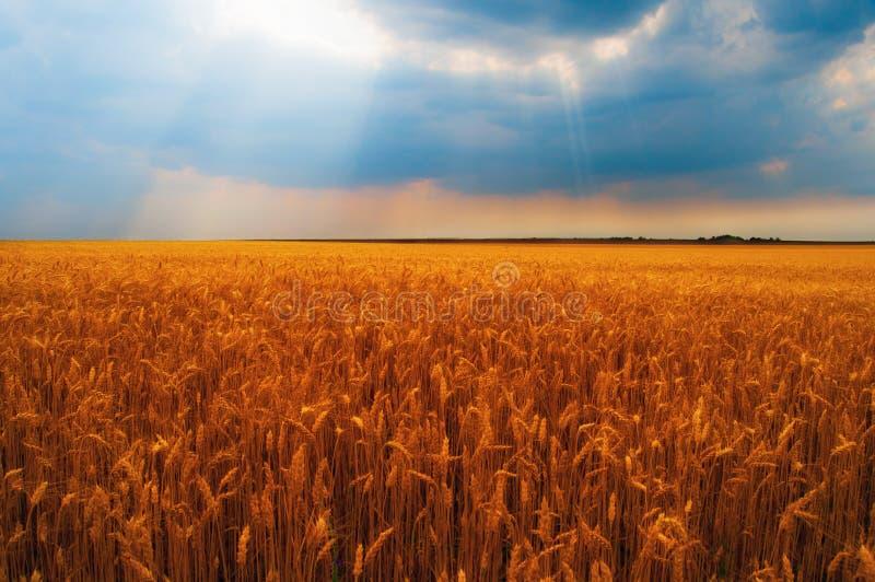 Weizenfeld am bewölkten Tag stockbild