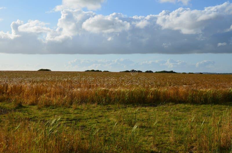 Weizenfeld in Cornwall während des Sommers stockfoto