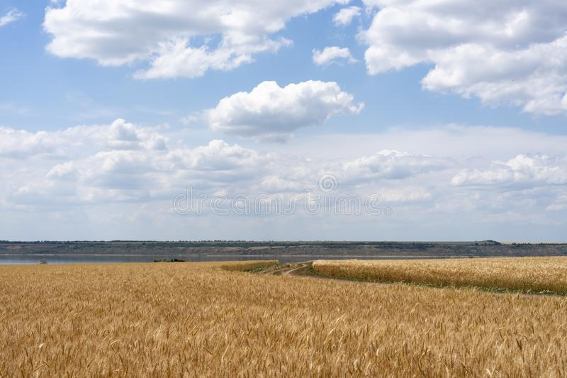 Weizenfeld des reifen Weizens gegen den blauen Himmel und die schönen Wolken Die Stra?e unter den Feldern stockbild