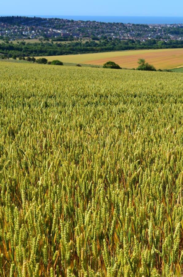 Weizenfeld in England stockbild