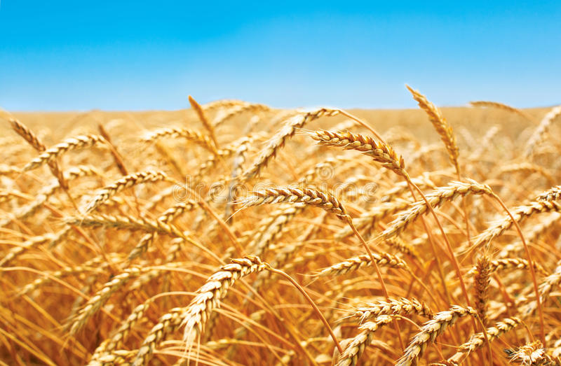 Weizenfeld, frische Ernte des Weizens lizenzfreie stockfotos