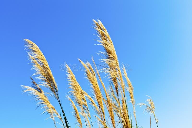 Weizenfeld gegen einen blauen Himmel stockbild