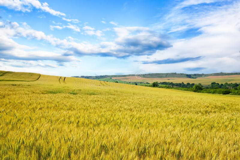 Weizenfeld gegen einen blauen Himmel stockfoto