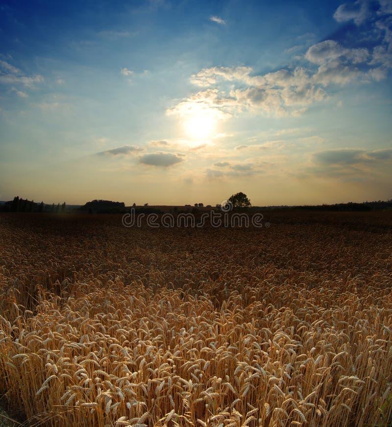 Weizenfeld mit Abendhimmel lizenzfreies stockfoto