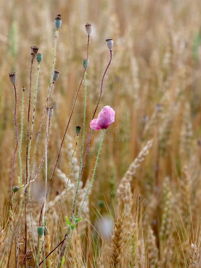 Weizenfeld mit Mohnblumen lizenzfreie stockfotos