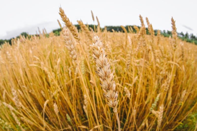 Weizenfeld in Polen stockfoto