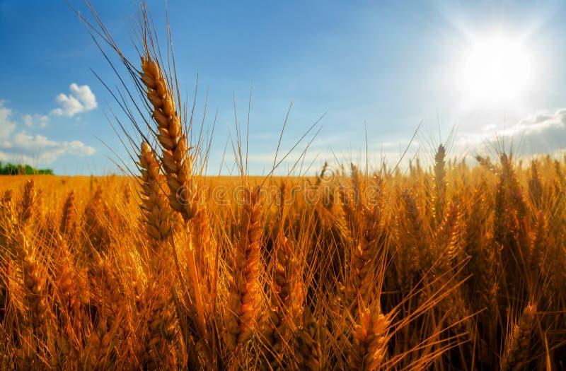 Weizenfeld am sonnigen Sommertag stockbilder